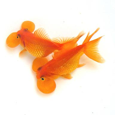Blue bubble eye goldfish - photo#26