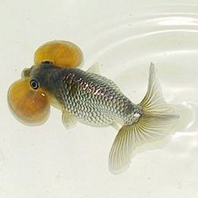 Blue bubble eye goldfish - photo#10