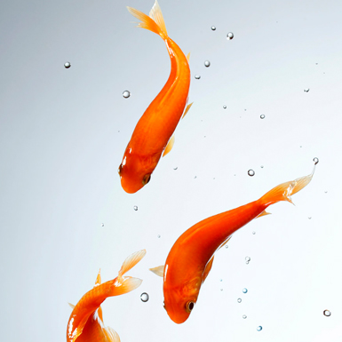 Red Commom Goldfish - GOLDFISH - jiangsu_hengfeng