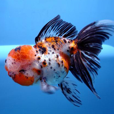 White oranda goldfish - photo#13