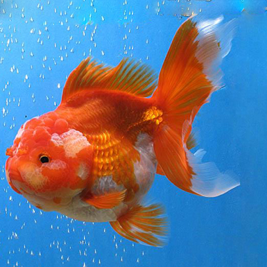 White oranda goldfish - photo#16
