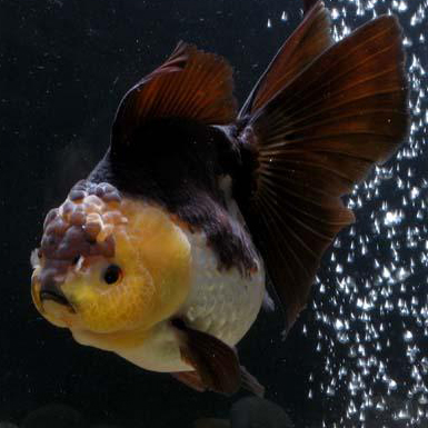 White oranda goldfish - photo#27
